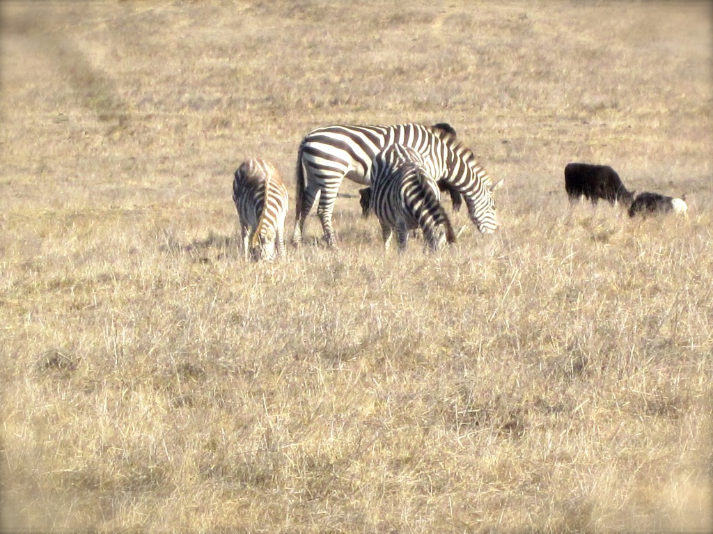 On my first day in Cambria I spotted a herd of the normally elusive zebras, a remaining bloodline from William Randolph Hearst's zoo, grazing in the pastures along Highway 1 near his castle at San Simeon. A good omen, for sure.