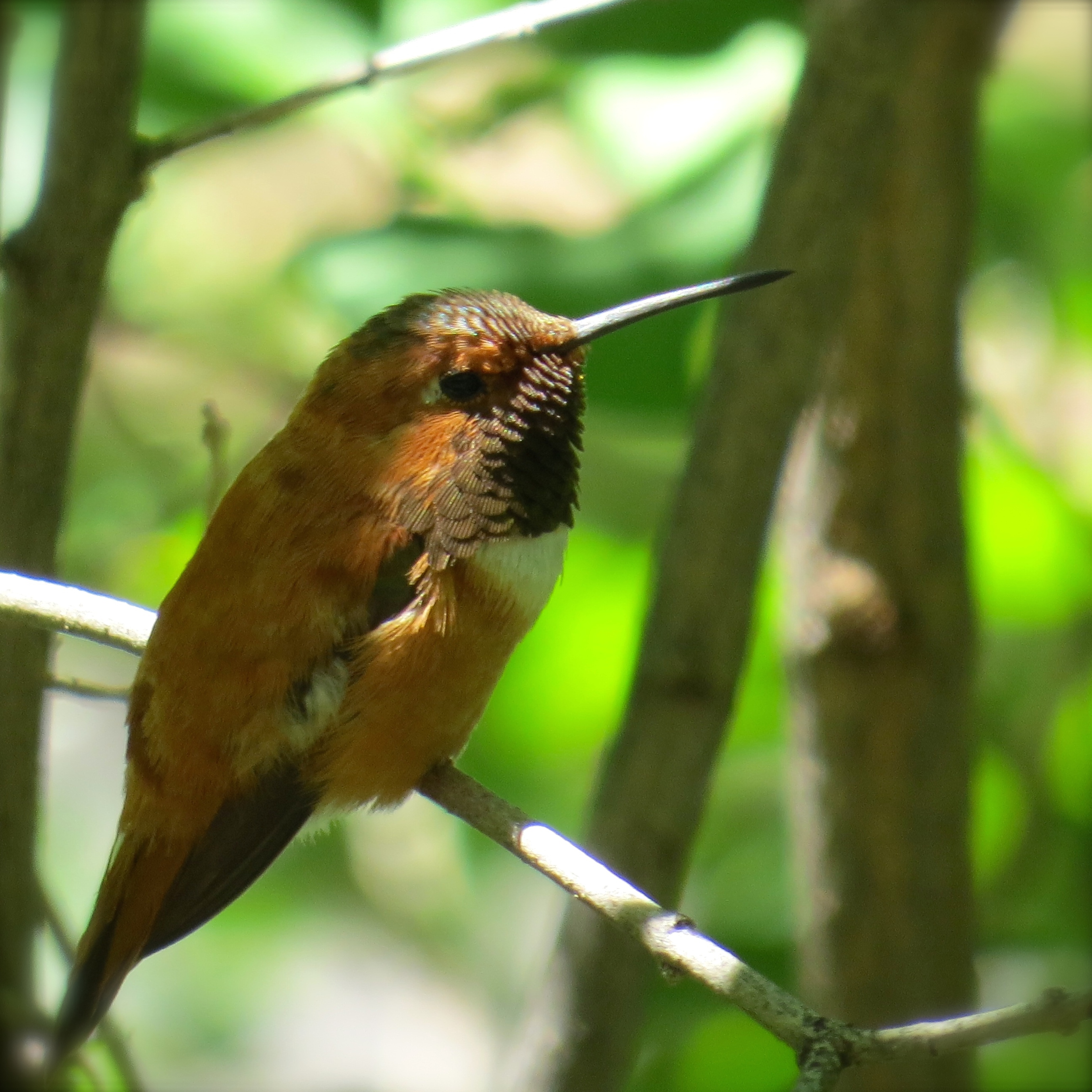 Meet Rusty the Rufous Hummingbird. The word in the neighborhood is 'Don't Mess with Rusty.""