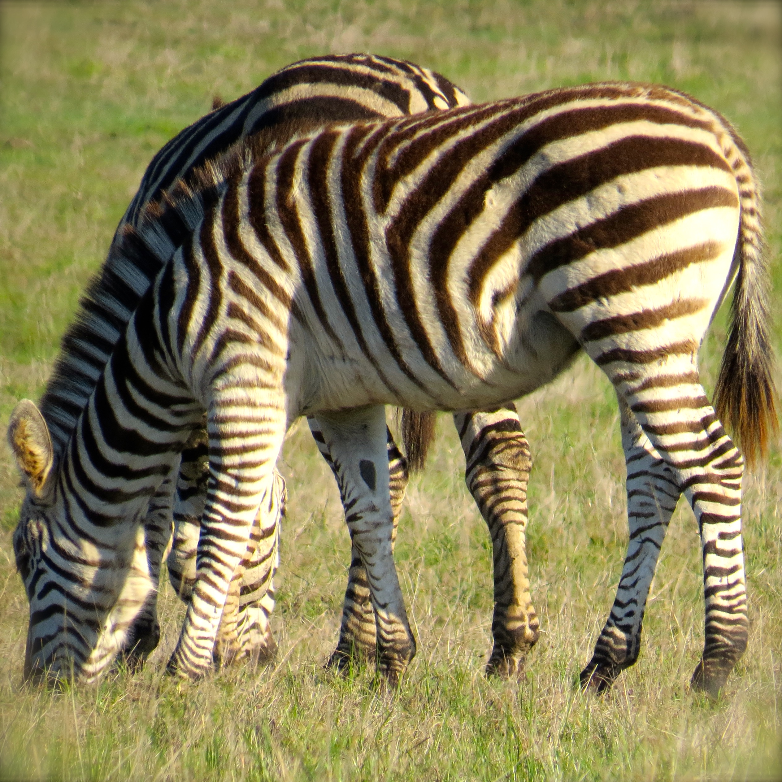 These zebras live and lounge on the Hearst Ranch in San Simeon. I'm thinking they have no worries.