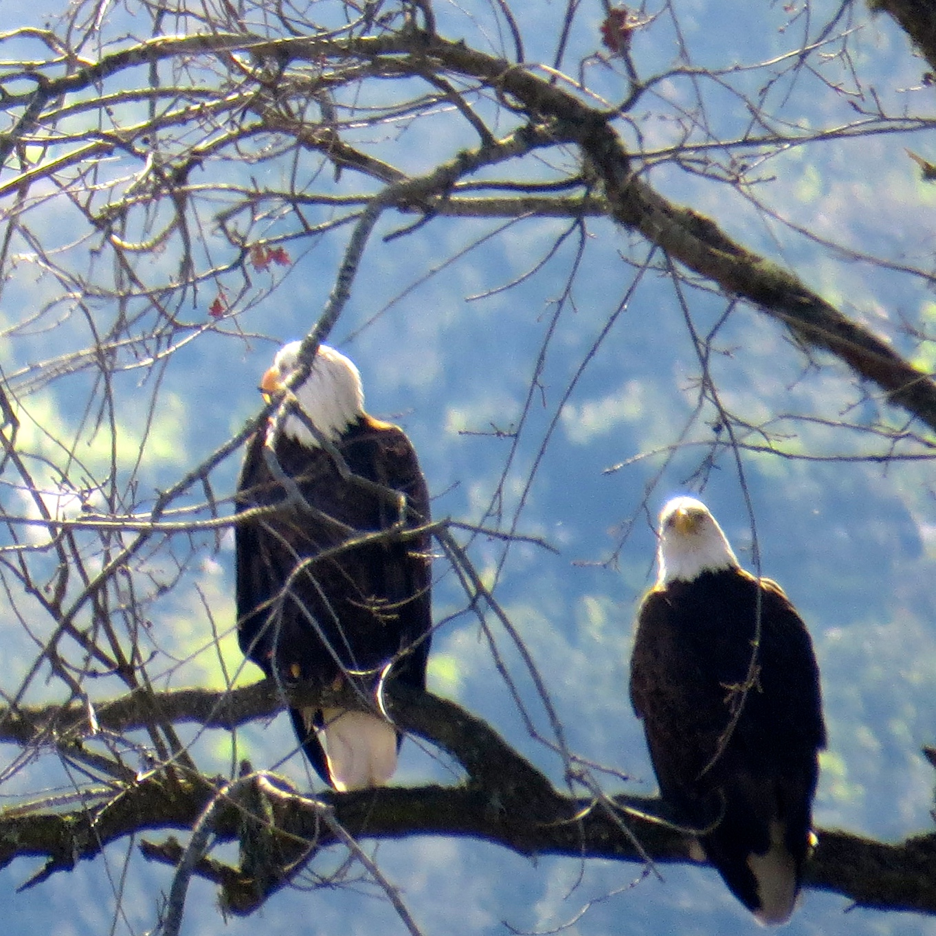 Bald Eagles, Lopez Lake, California