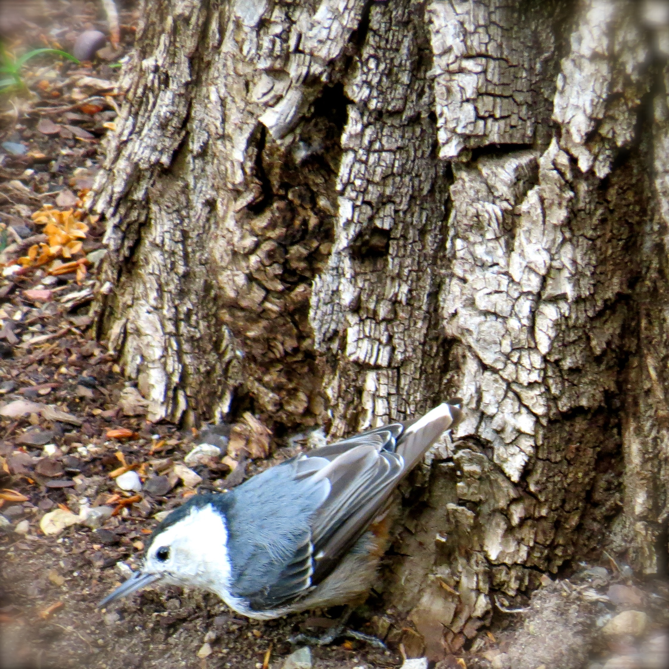 This tiny White-Breasted Nuthatch and it's mate are year-round residents in the old-growth cottonwood tree standing next to my balcony. Although nuthatches do know up from down, their preferred direction is climbing head-down.
