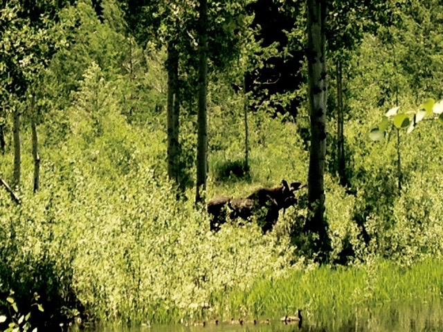A bull moose, recently seen at a nearby perserve. Note the family in the nearby pond. Tom Bernard iPhoto