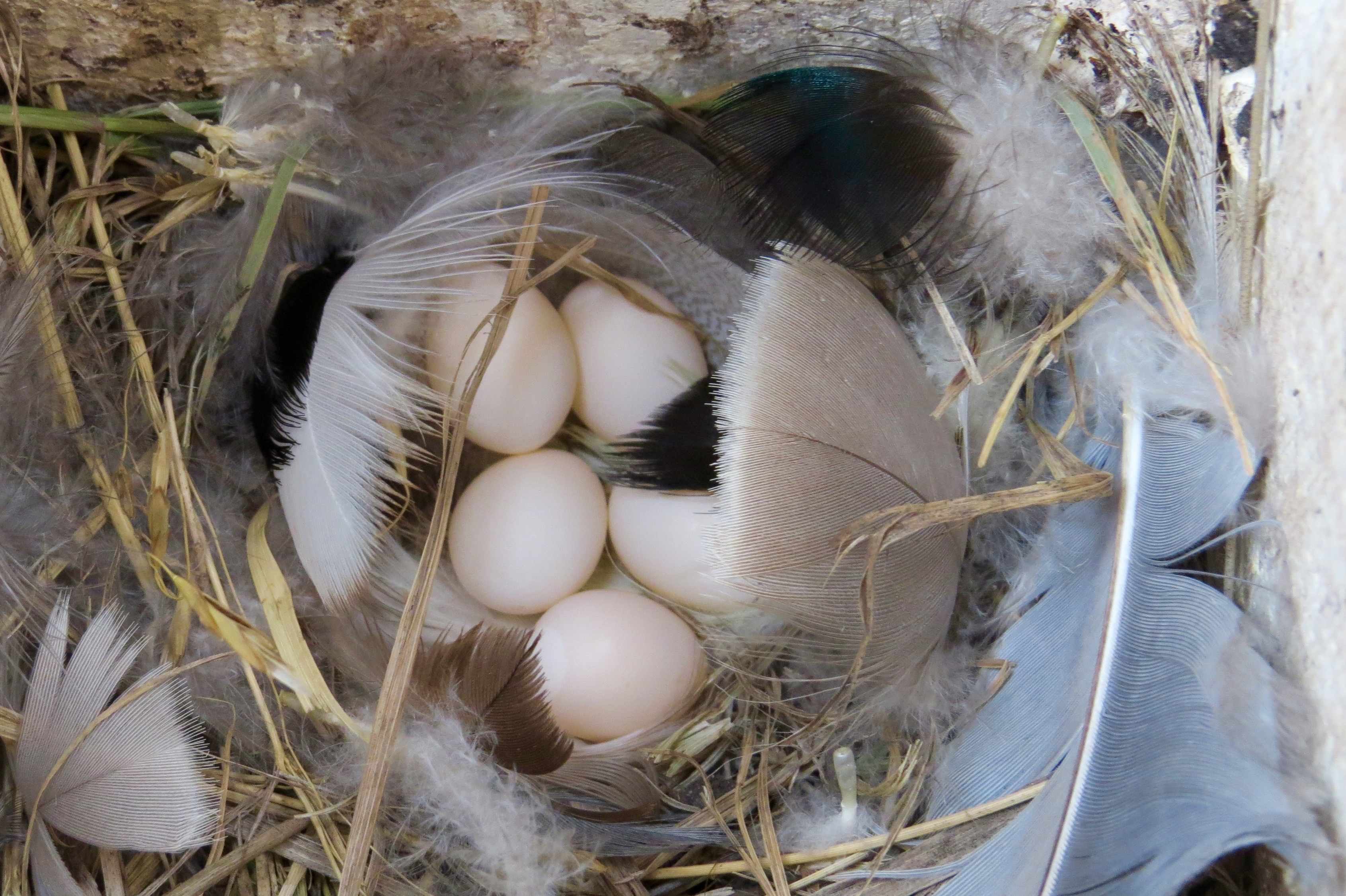 """Swallows sometimes """"borrow"""" the bluebird boxes to make their own beautiful nests."""