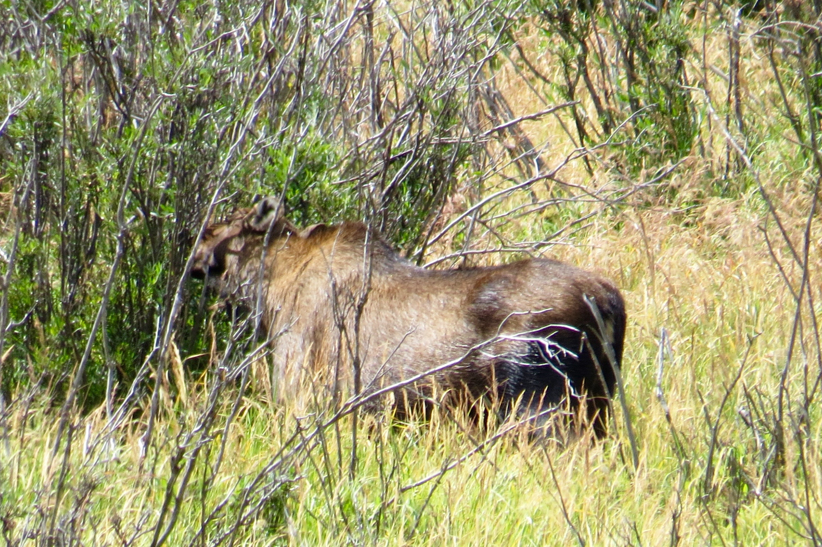 MOM MOOSE - SHE CAN WEIGH BETWEEN 1100 TO 1200 POUNDS.