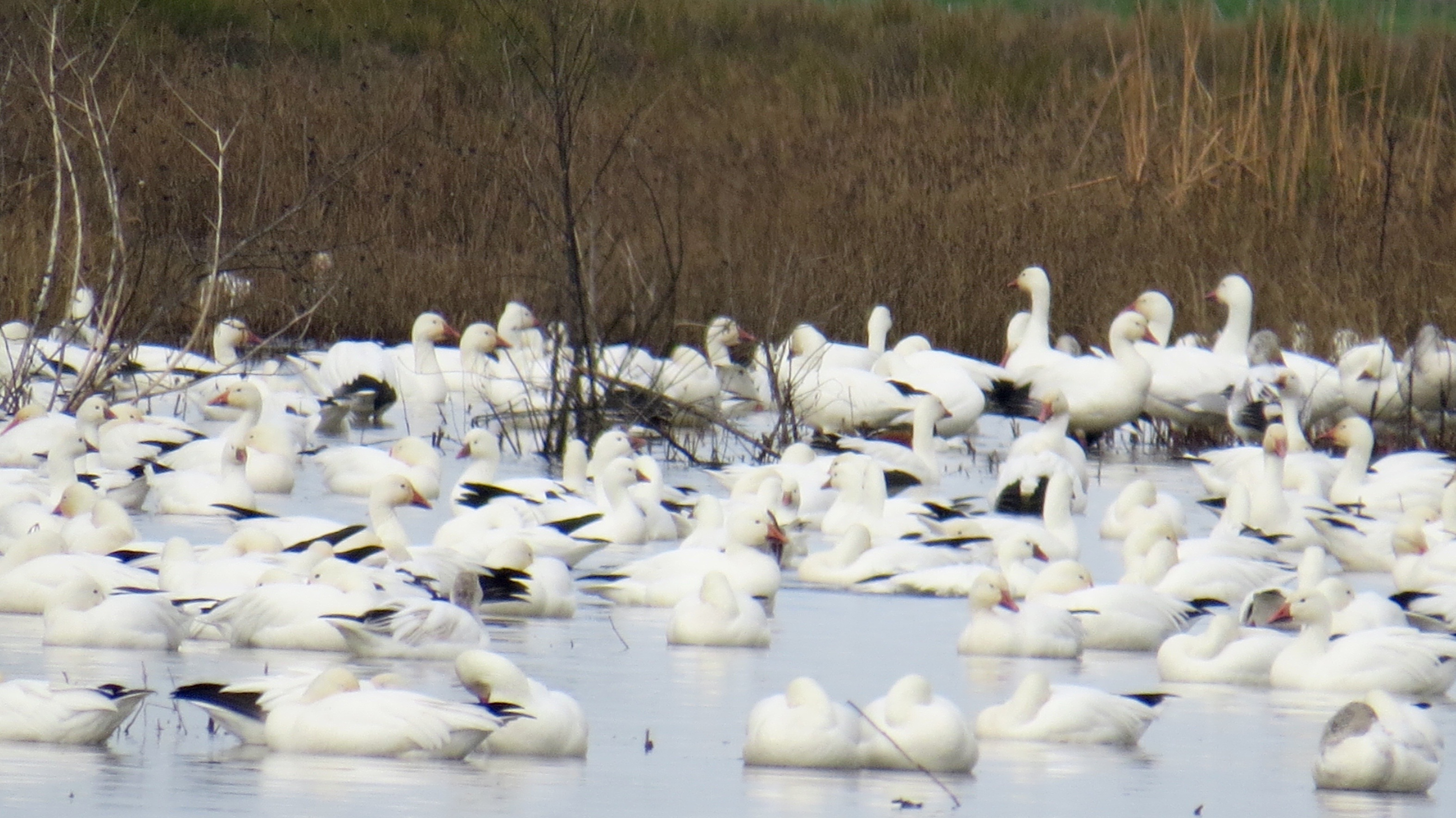Thousands of Snow Geese and the smaller Ross's Geese winter in the San Joaquin Valley