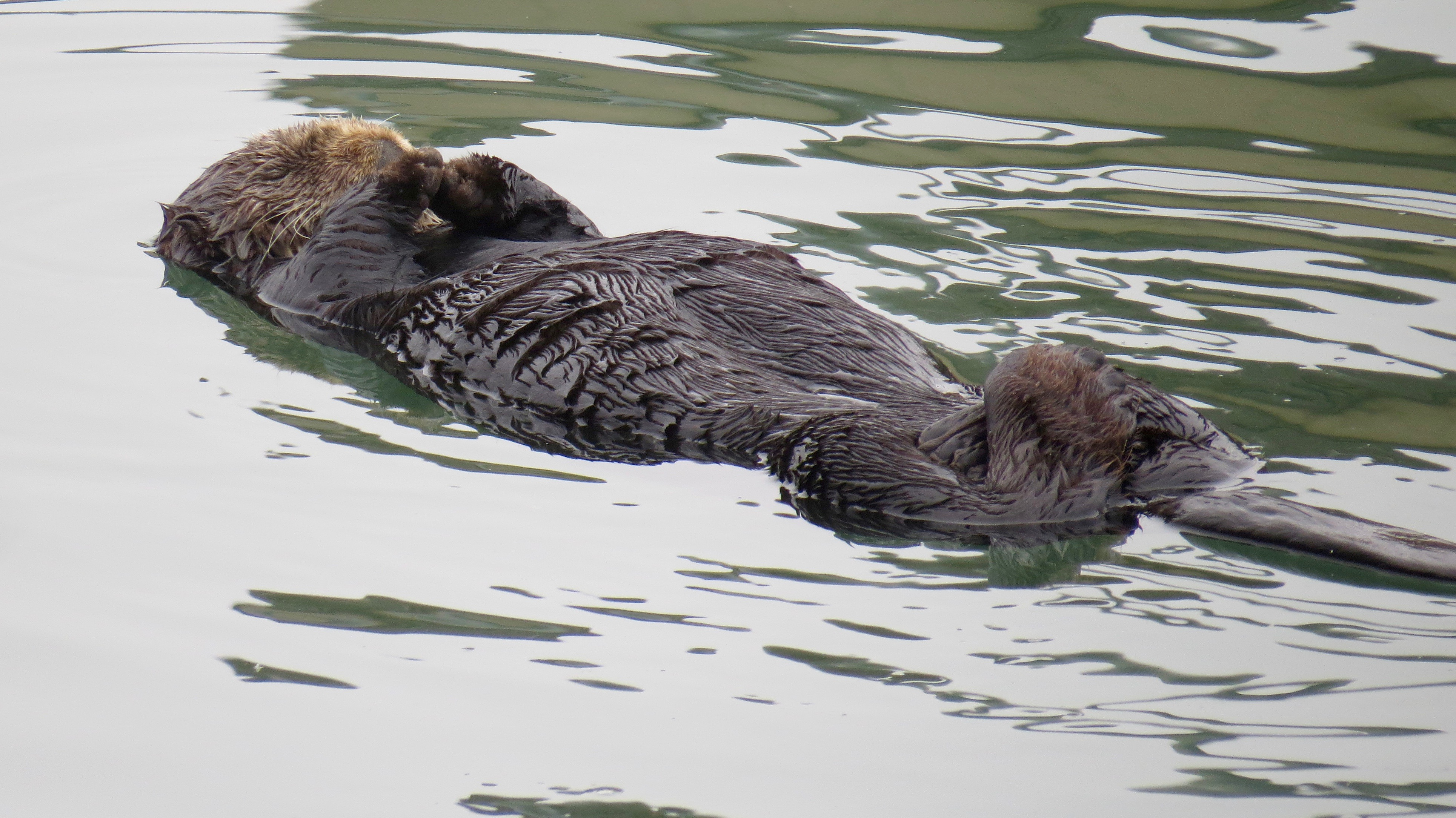 Mr. California Sea Otter