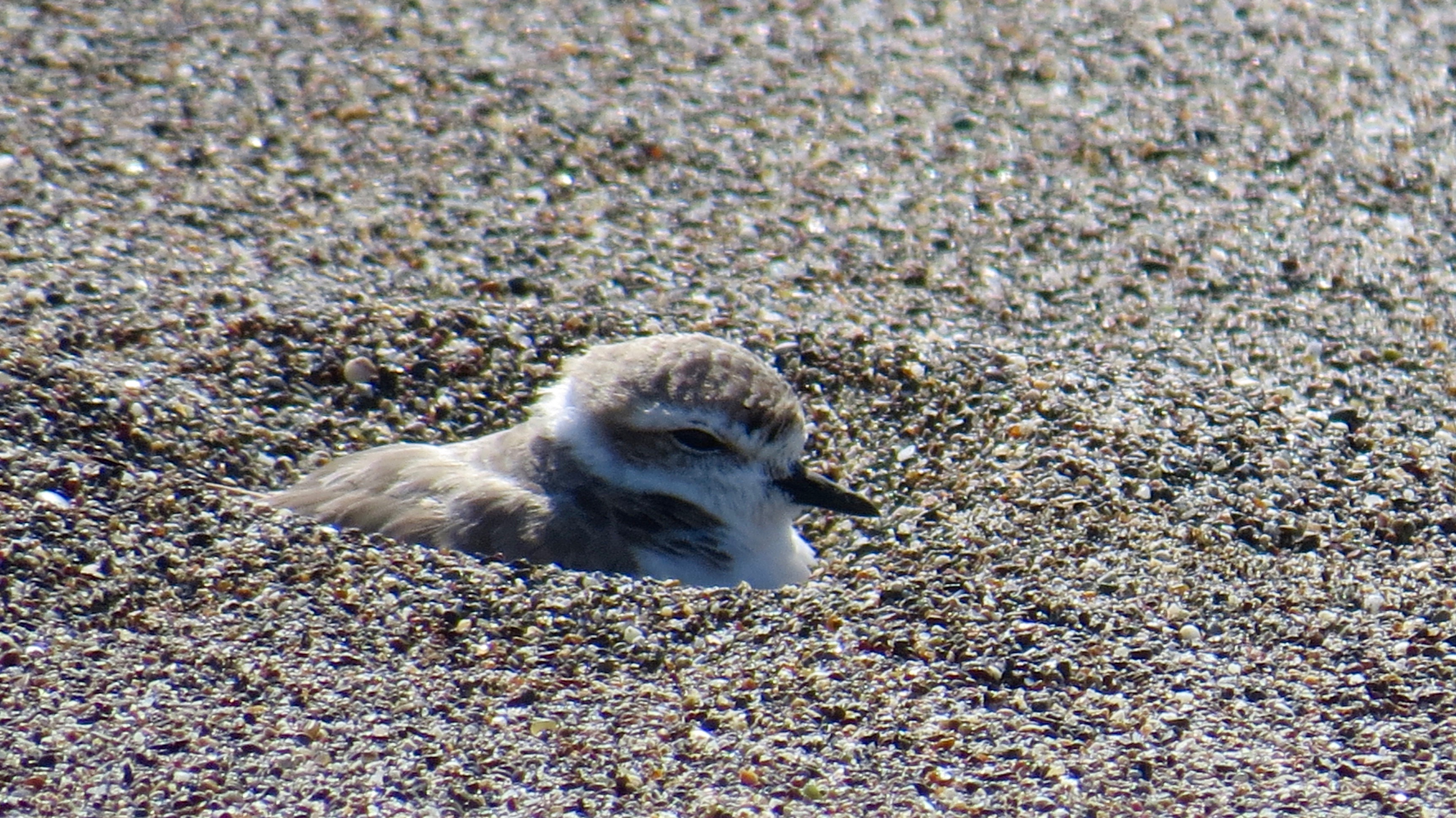 The Snowy Plover sits on her nest.