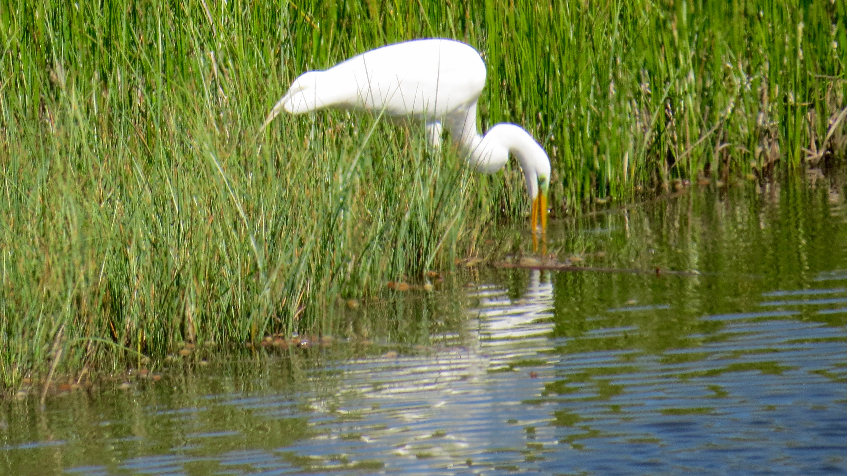 This Great Egret just caught his lunch of choice, some unfortunate aquatic creature.