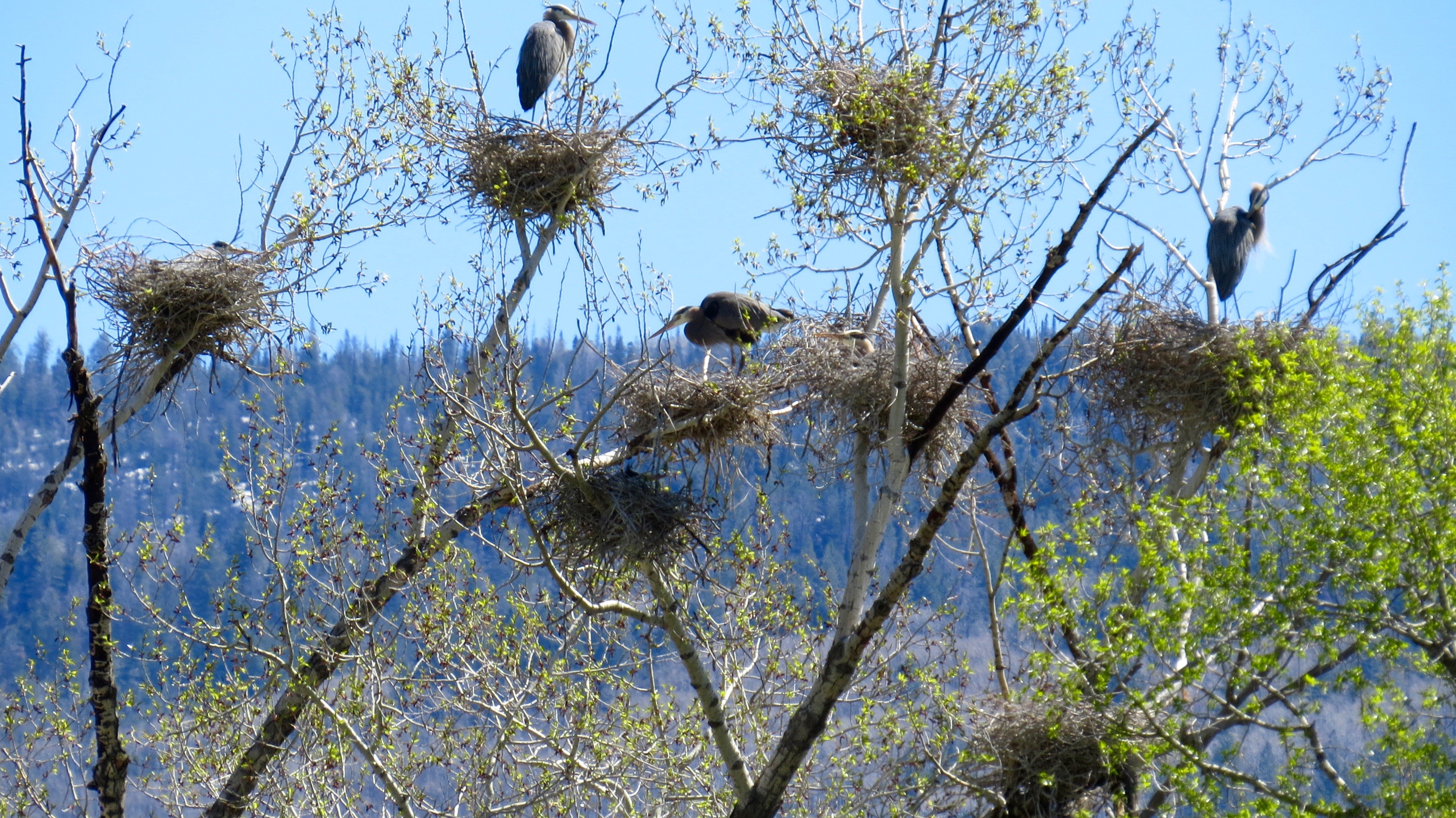 The Great Blue Herons' rookery at Rock Bottom Ranch near Carbondale is thriving.