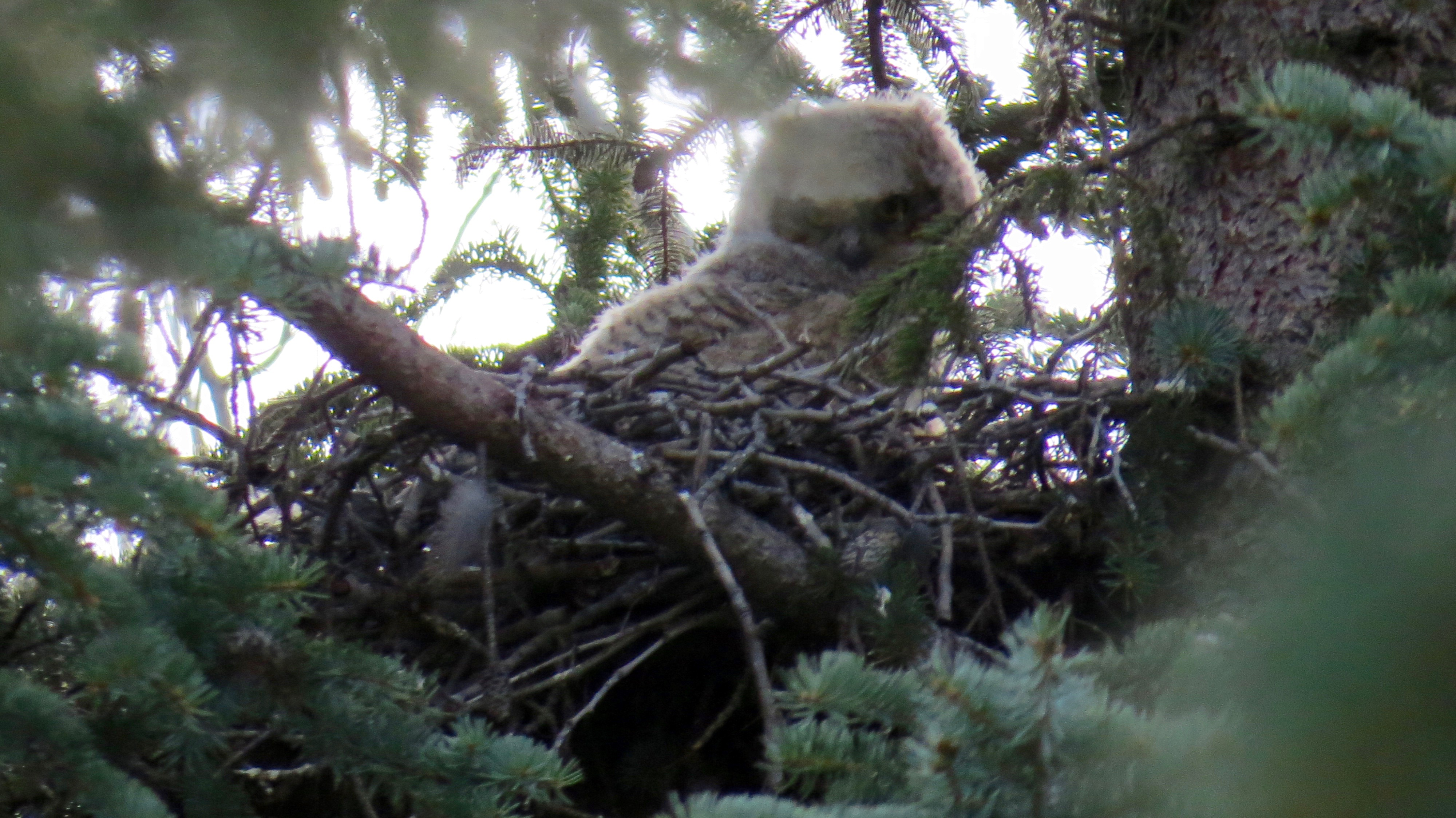 The Great Horned owlet. Note that everything but the face is covered with white fluff.