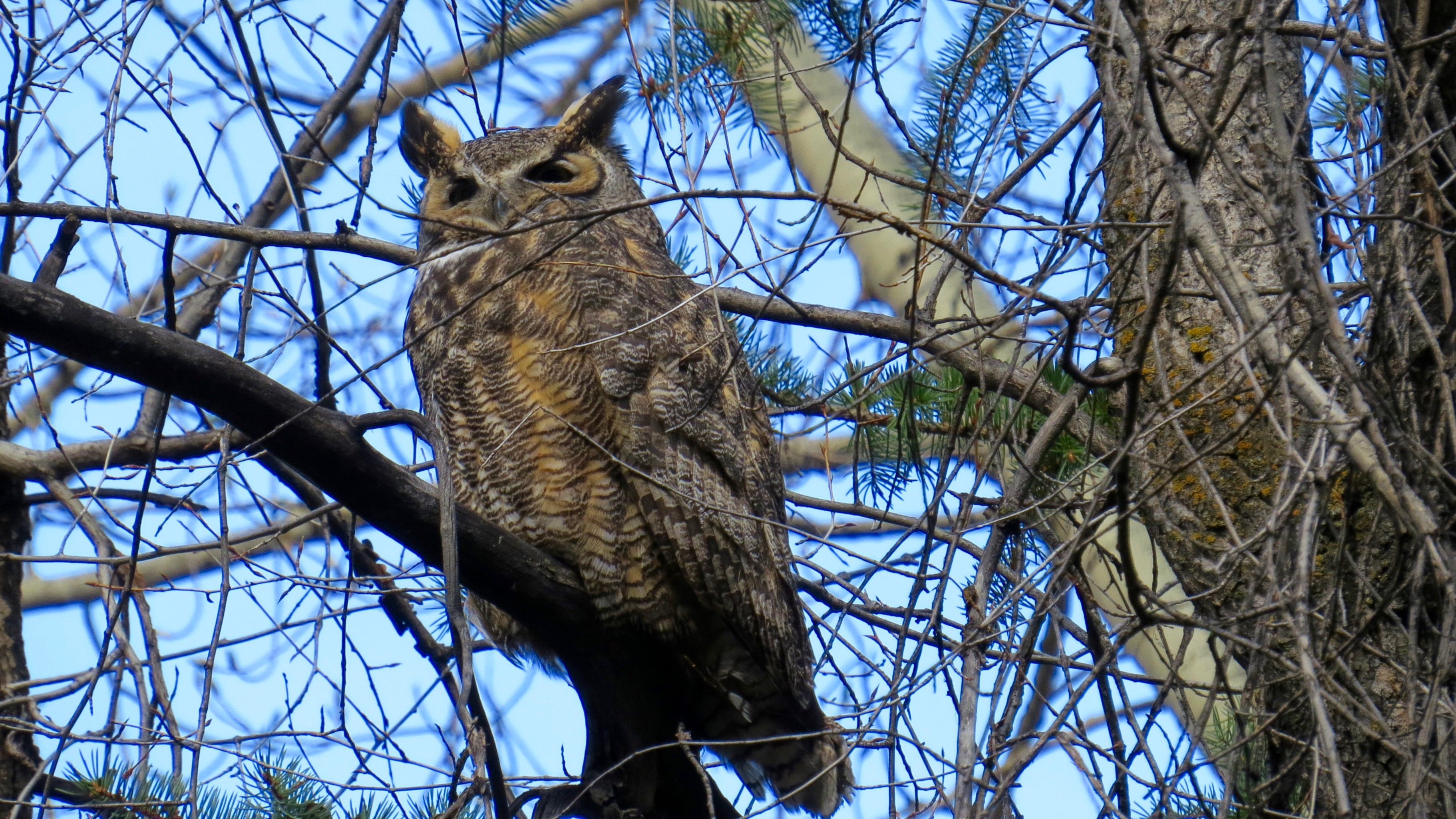 """The most exciting event locally this Spring is the birth of a Great Horned Owl. The family is """"in residence,"""" living in a tall conifer in the middle of town. Dad, pictured here, usually hangs out on a nearby snag to patrol and watch for the annoying crows who often bother the baby."""