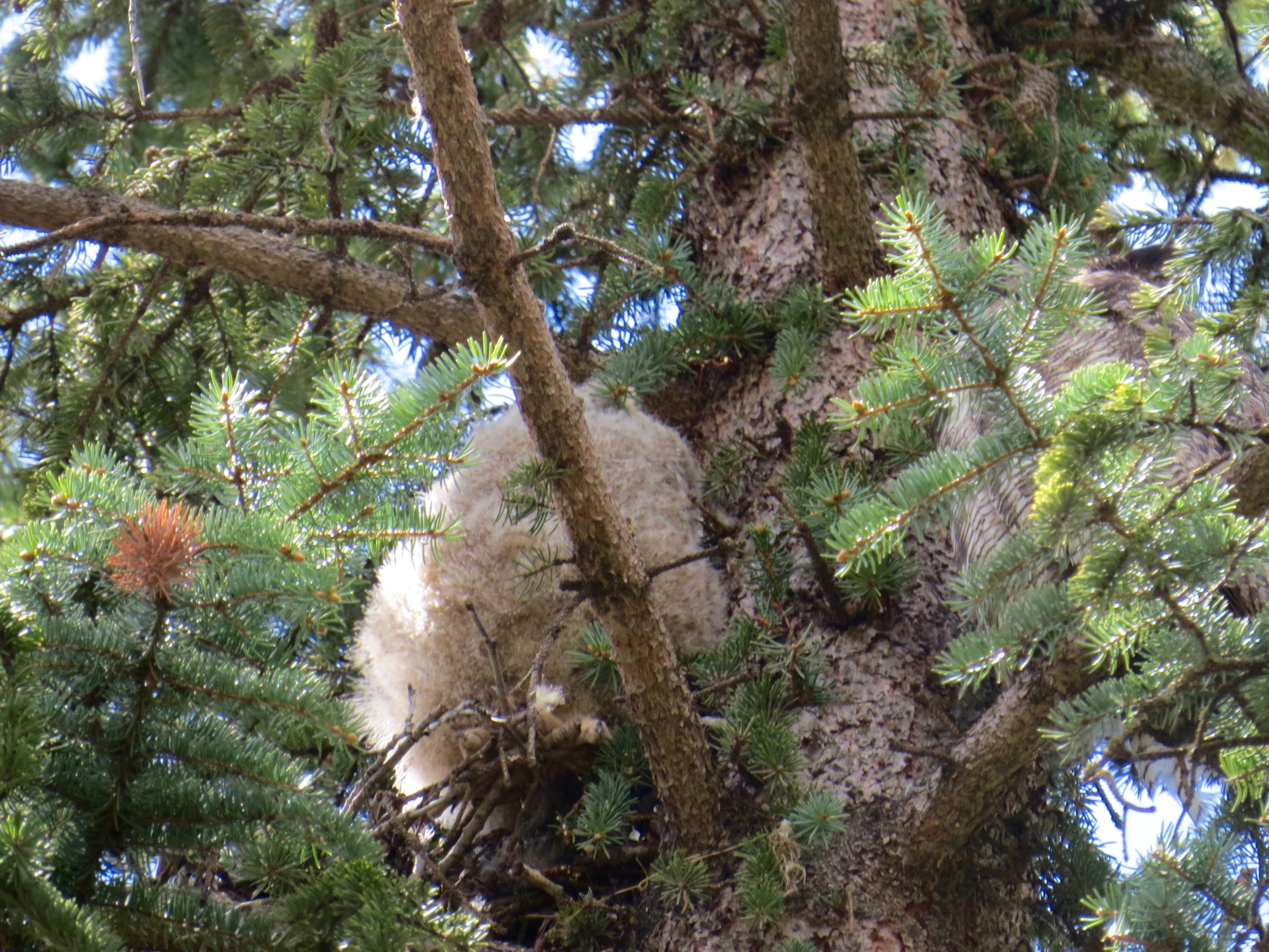 The Great Horned owlet, a bundle of white fluff, all snuggled up in the nest and taking a nap.