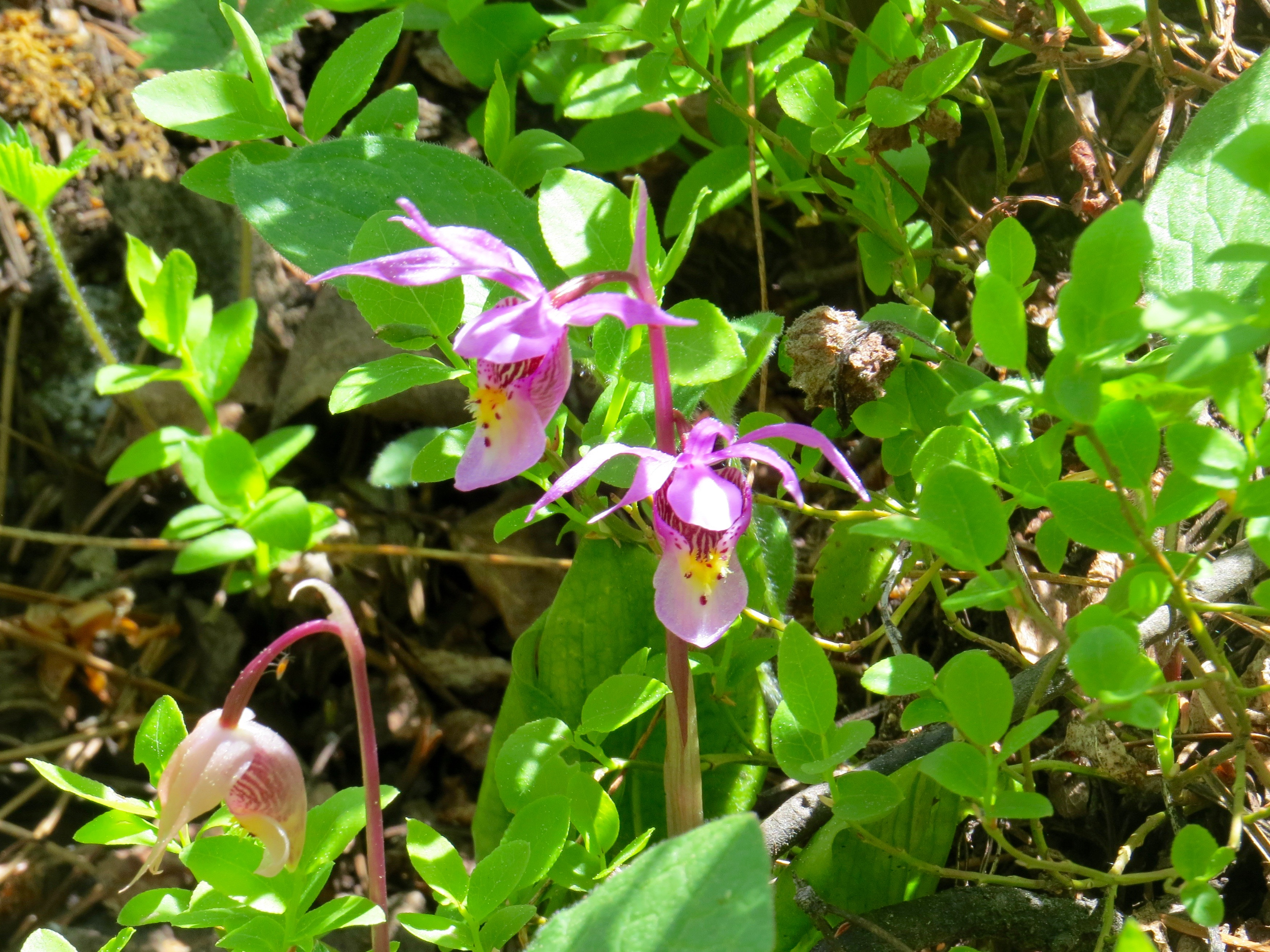It's always special to spot a Calypso Orchid (Fairyslipper).  Because this orchid is in decline in North America, we always try to record our finding and take a photo.