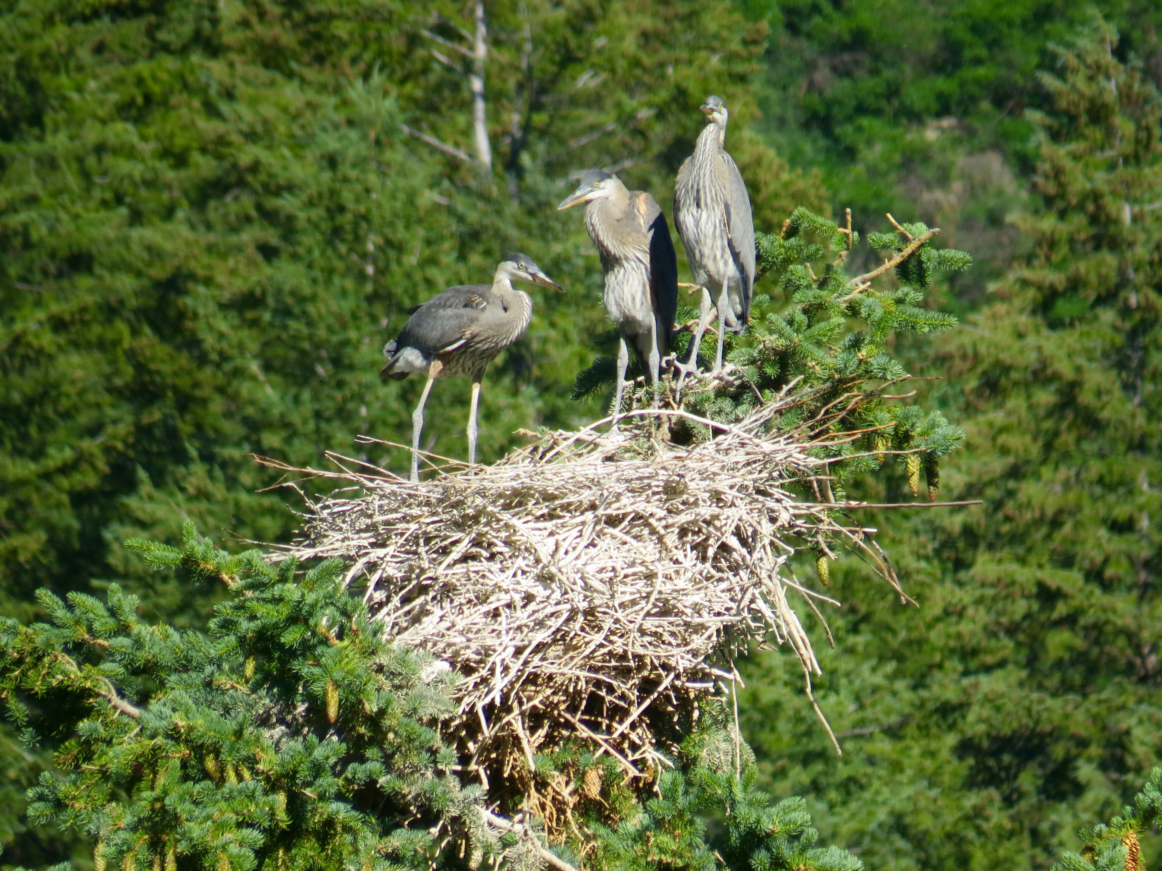 Three baby Great Blue Herons are searching for Mom who is supposed to be bringing them food.  Northstar Preserve 2016