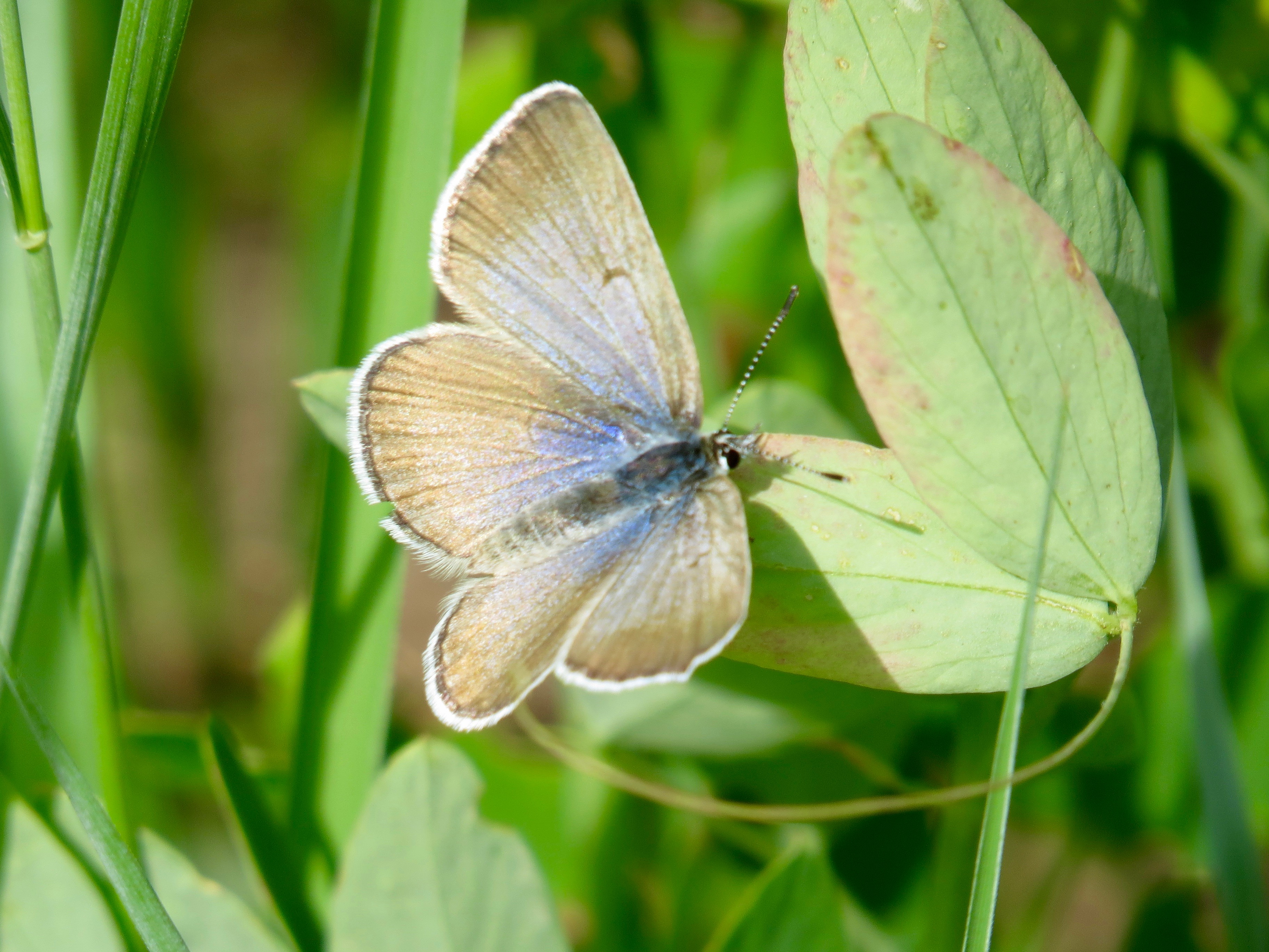Gorgeous butterflies visit Colorado's High Country.  Hunter Creek Valley, Aspen
